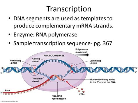 Rna And Protein Synthesis Ppt Download Rna Sequence From Dna Template