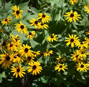 What Is The Maryland State Flower - black eyed susan free stock photo public domain pictures