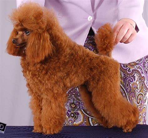 what are yhe different kinds of poodle cuts poodle the different types of for the poodle 5 types of