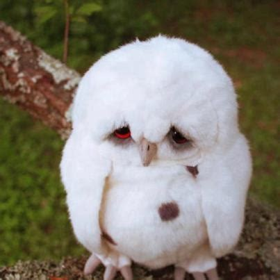 baby snowy owl animals   put   ark pinterest snowy owl  animal