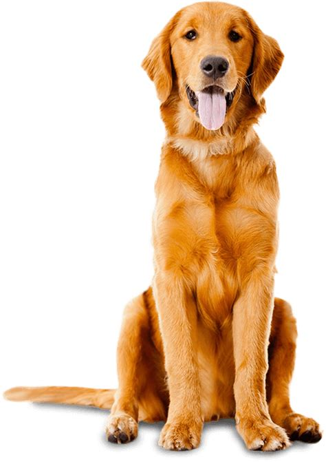 why are golden retrievers so friendly bad to the bone or misunderstood