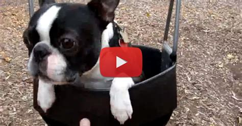 dog in baby swing boston terrier boat ride dog breeds picture