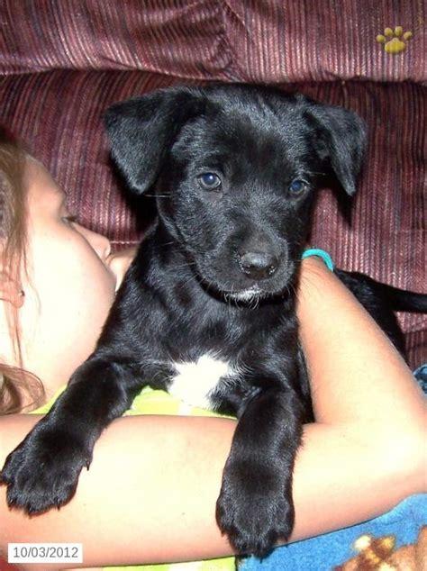 puppies spokane wa lab mix puppies for sale spokane wa