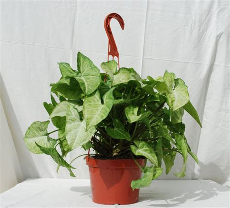 tropical plants for indoors foothill tropicals inc indoor tropical house plants