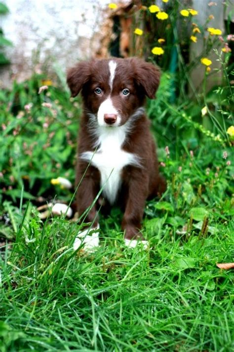 border collie puppies california best 25 border collie ideas on border collie puppies white border