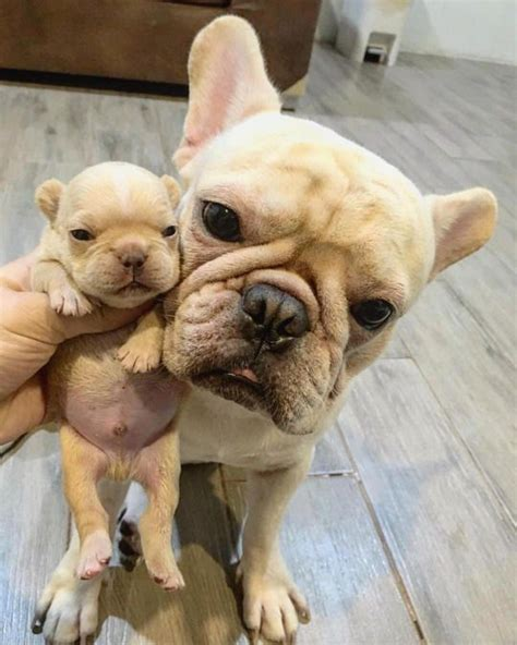 17 best images about etc on pinterest french country 17 best images about french buliies on pinterest puppys