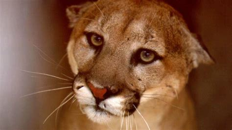 reset nvram mountain lion animal rights group wants arizona voters to ban hunting of