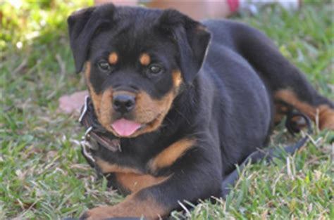 rottweiler puppies for sale louisiana rottweiler puppies for sale in louisiana rottweiler puppy alabama and breeds picture