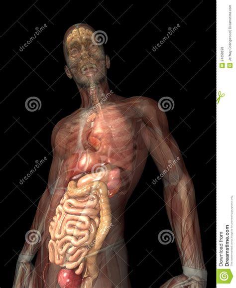 posizione organi interni raggi x di scheletro organi interni fotografie stock