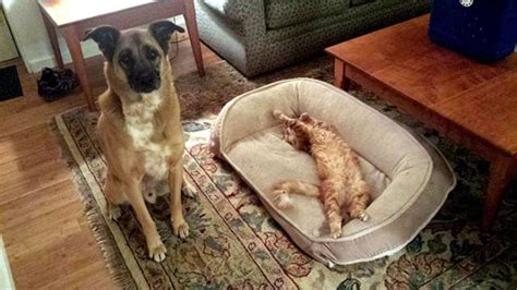 cats in dog beds cats steal dogs beds and don t give a f uck 54 pics