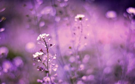 lavender flower backgrounds pixelstalknet