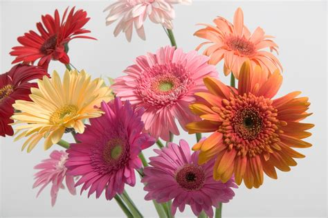 thinkin of home gerber daisy love valentine s day dos and don ts glamour