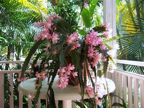 piante grasse pendenti con fiori piante grasse pendenti piante grasse da appartamento