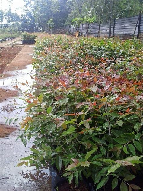 Bibit Ekaliptus eucalyptus deglupta