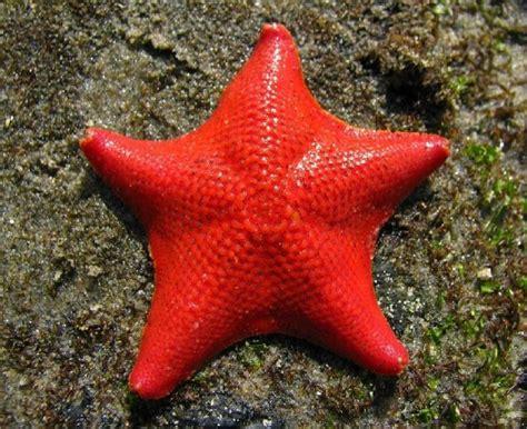 Bintang Laut Warna gambar nama bintang laut 19 jenisnya aneh penuh warna gambar di rebanas rebanas
