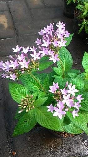 tanaman pentas light purple compact bibitbungacom