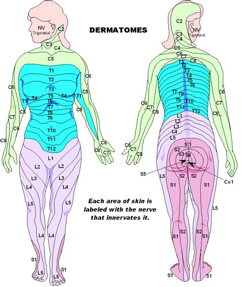 dermatomes map dermatomes mycerebellarstrokerecovery