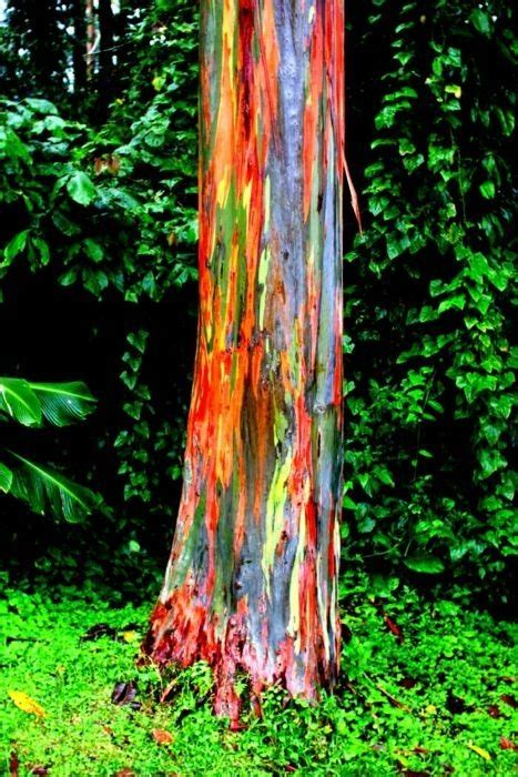 rainbow trees the rainbow eucalyptus trees awesome worlds most