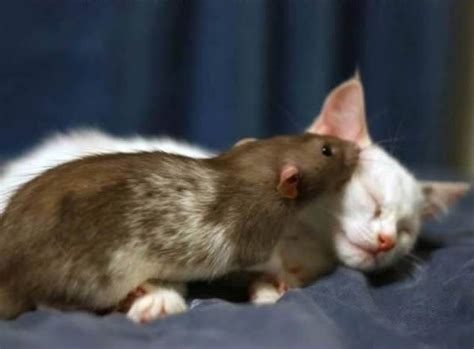 unusual   cats  mice   friends