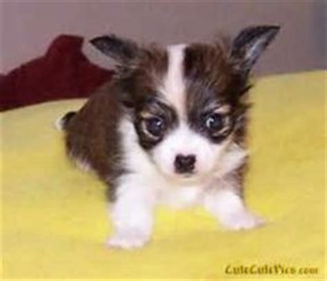 Do Hair Chihuahuas Shed by Hair Chihuahua On Hair Sheds And