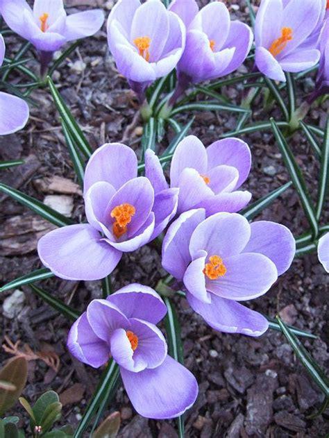 best 25 early spring flowers ideas on pinterest early