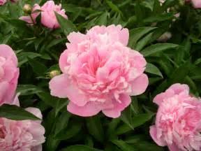 pink peonies paeonia officinalis european peony