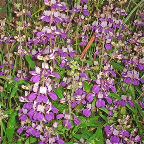 Chinese Houses Seeds Collinsia Heterophylla Flower Seed