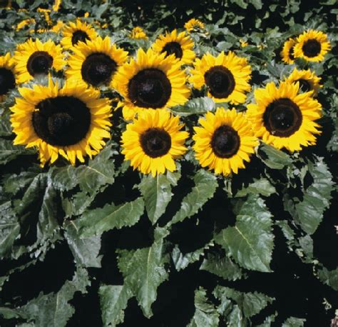 Biji Bunga Matahari Per Kilogram benih sunflower dorrit 2 biji non retail bibitbunga