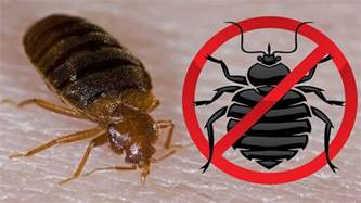 How To Kill Bed Bugs Fast by How To Kill Bed Bugs How To Get Rid Of Bed Bugs Fast And