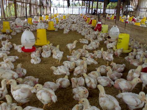 Jual Bibit Ayam Potong Di Bandung products ayam broiler bandung