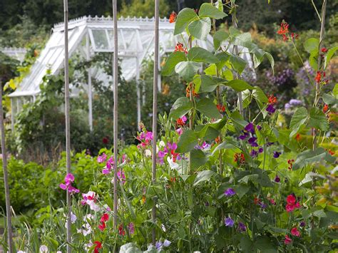how to grow sweet peas saga