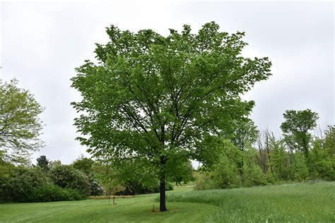 valley forge american elm ulmus americana valley forge