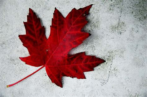 Flower Delivery Montreal - the history of the canadian maple leaf