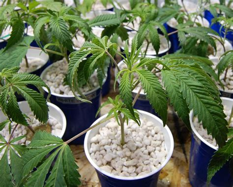 How Often Should I Water My Marijuana Plants Marijuana How Often Should I Water My Vegetable Garden