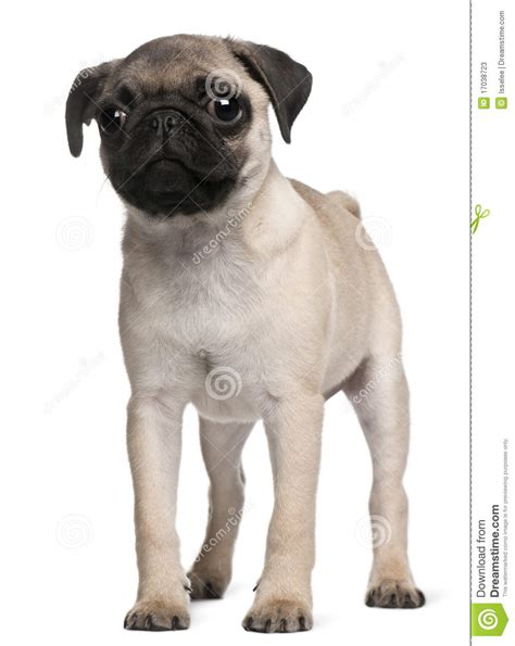 3 month pug pug puppy 3 months standing stock photos image 17038723