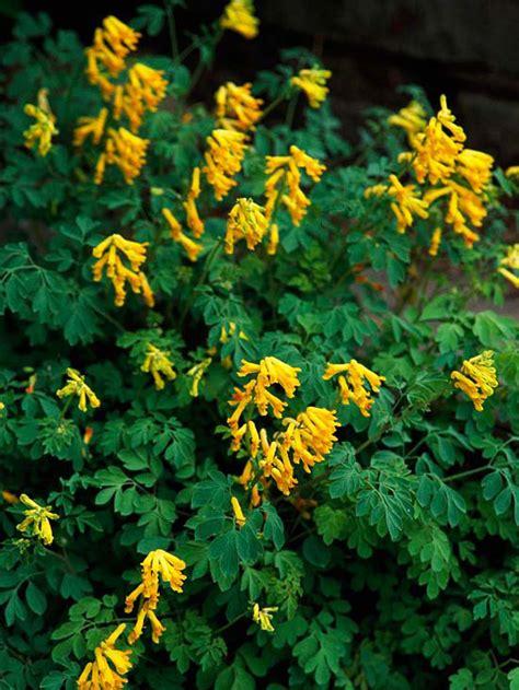 yellow flowered shrub crossword clue perennials for shady gardens zone 9 orange county master