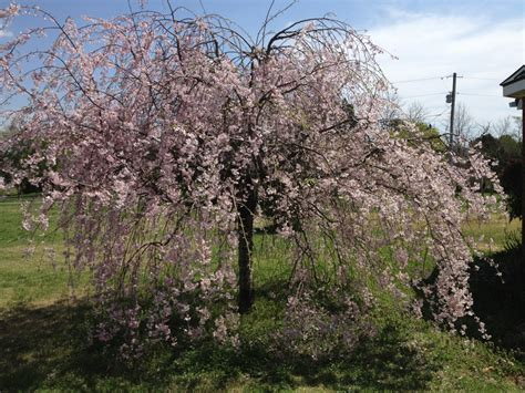 weeping cherry tree gardening pinterest