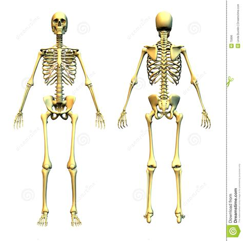 pelvis esqueleto humano frente cibertareas esqueleto humano frente y parte posterior imagen de