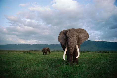 Elephant Bigsize Brown why killing a bull elephant with big tusks hurts the herd conservation trust