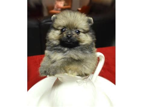 pomeranian puppies for sale in tn pomeranian puppies dogs for sale in tennessee tn pets world