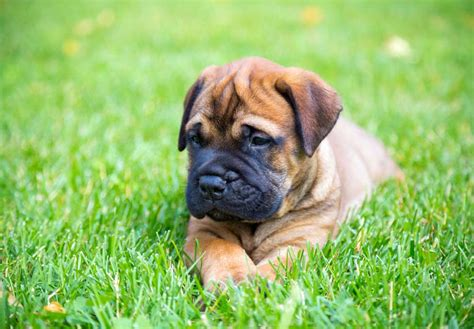 bullmastiff puppy for sale bullmastiff brindle breeds picture