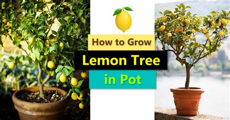 how to grow a fruit tree how to grow a lemon tree in pot care and growing