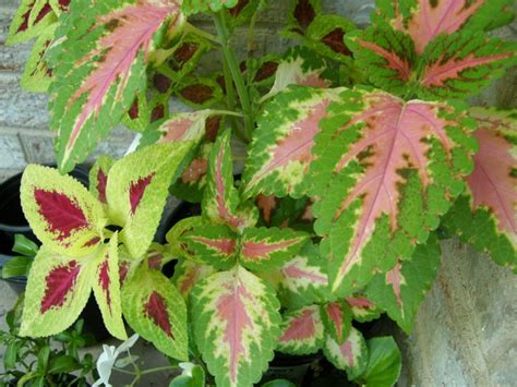 54 best images about coleus on pinterest gardens a tree and washington