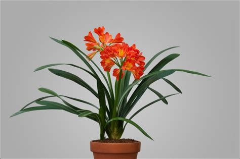 Flowering House Plants For Windows Blooming Plants Orange Flower Form