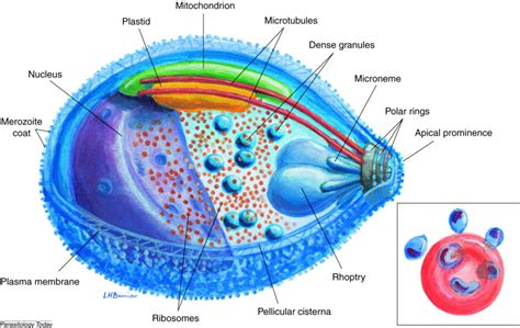 plasmodium falciparum diagram a brief illustrated guide to the ultrastructure of