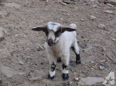 Fainting For Sale by Fainting Goats For Sale In Western Pa For Sale In