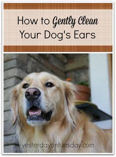 easy dogs to take care of 1000 ideas about cleaning dogs ears on ear cleaner and bassett hound