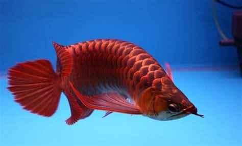 Han Decor 2 In 1 Alat Pembersih Sisik Ikan Pisau 5 besar ikan hias paling ngetop di indonesia 5 besar