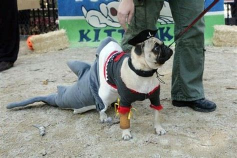 pug pirate costume 432 best images about pugs in costume on