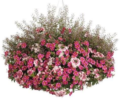 fairy dust pink cuphea ramosissima proven winners